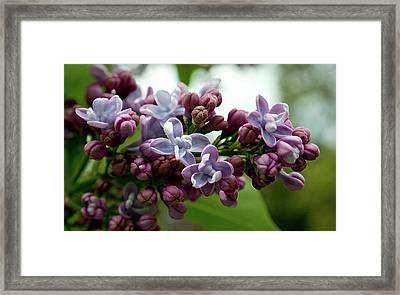 La La La Lilac Framed Print by Travis Crockart