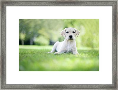 Labrador Puppy In Uk Garden Framed Print by Images by Christina Kilgour
