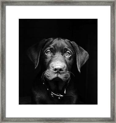 Labrador Puppy Framed Print by Www.timmygambin.com
