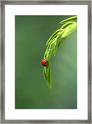 Ladybug 1 Framed Print by Pan Orsatti