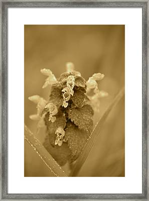Lamium In Sepia Framed Print by JD Grimes