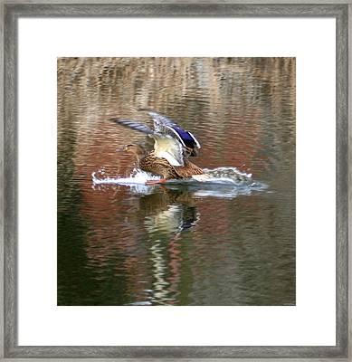 Landing Duck Framed Print by Valia Bradshaw