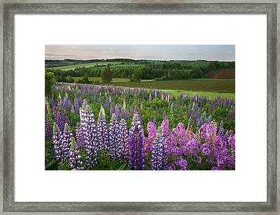 Landscape Of Lupins And Phlox, Clinton Framed Print by John Sylvester