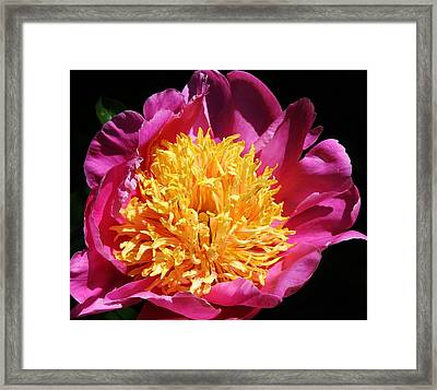 Large Pink Peony Framed Print by Bruce Bley