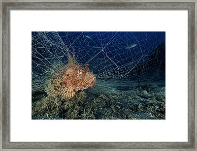 Large-scaled Scorpionfish In A Net Framed Print by Alexis Rosenfeld