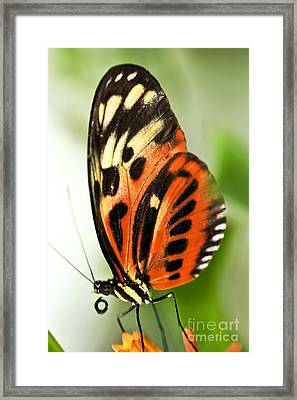Large Tiger Butterfly Framed Print by Elena Elisseeva