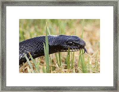 Large Whipsnake Coluber Jugularis Framed Print by Alon Meir