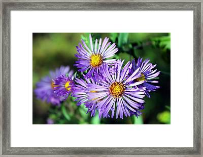 Last Bloom Framed Print by Sheryl Burns