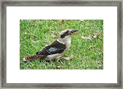 Laughing Kookaburra Framed Print by Kaye Menner