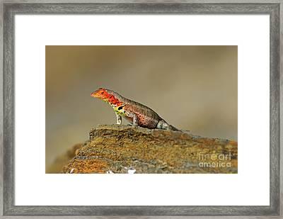 Lava Lizard Framed Print by Sami Sarkis