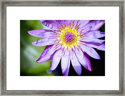 Lavendar Water Lily Framed Print by Kicka Witte