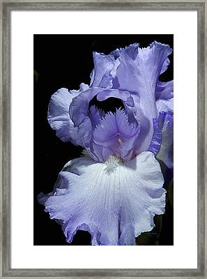 Lavender Blue Iris Framed Print by Phyllis Denton