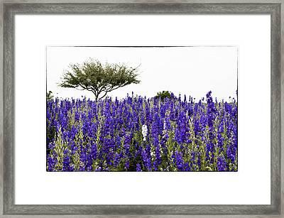 Lavender Field Framed Print by Lisa  Spencer