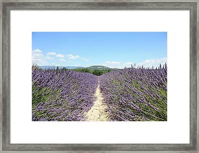 Lavender In Provence Framed Print by Thomas Chung Siu Chung