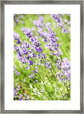 Lavender In Sunshine Framed Print by Elena Elisseeva