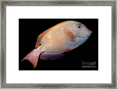 Lavender Tang Framed Print by Dant� Fenolio