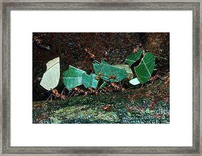 Leafcutter Ants Framed Print by Gregory G. Dimijian