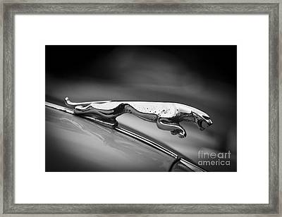 Leaping Jaguar Framed Print by Clare Bambers