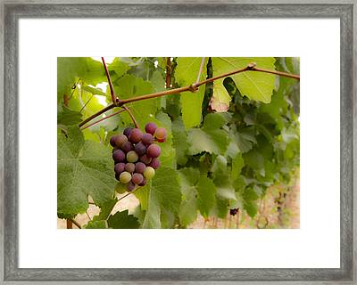 Leftover Grapes Framed Print by Jean Noren