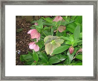 Lenten Rose Framed Print by Jody Prater