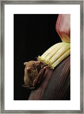 Lesser Long-tongued Fruit Bat Framed Print by Ch'ien Lee