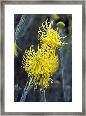 Leucospermum Reflexum Flowers Framed Print by Bob Gibbons