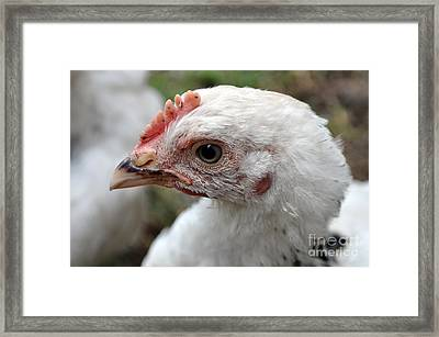 Light Sussex Cockerel Head Framed Print by Joanne Kocwin