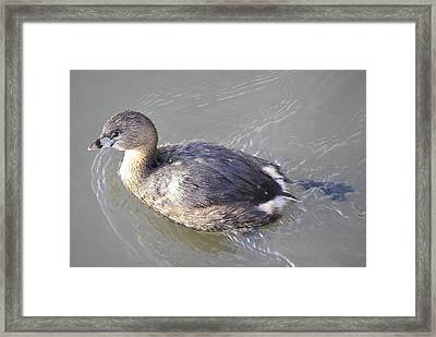 Like Water Off A Duck's Back Framed Print by Paulette Thomas