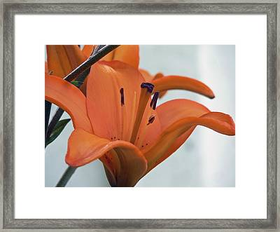 Liliaceae Orange  Framed Print by Pamela Patch