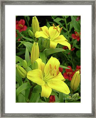Lilies (lilium 'limelight') Framed Print by Tony Craddock