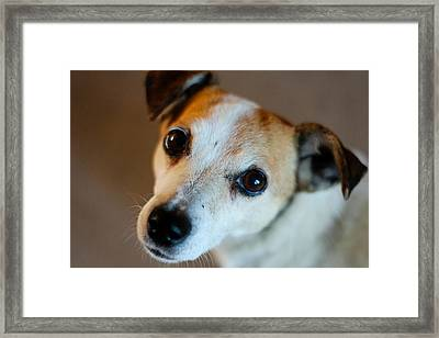 Lilly - The Jack Russell Framed Print by Callum Mcleod