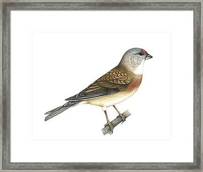 Linnet, Artwork Framed Print by Lizzie Harper