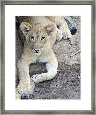 Lion Cub Framed Print by Becky Lodes