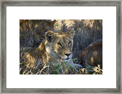 Lioness With Pride In Shade Framed Print by Darcy Michaelchuk