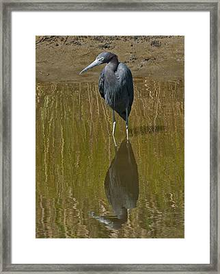 Little Blue Heron Assateague Island Framed Print by Lara Ellis