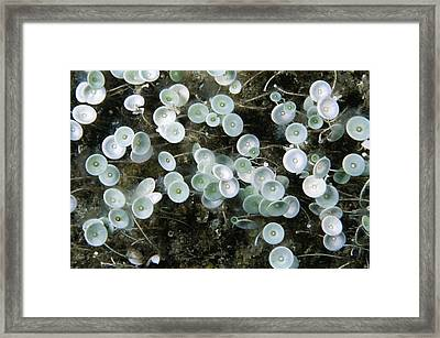 Little Cup Green Algae Framed Print by Alexis Rosenfeld
