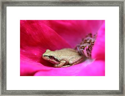 Little Frog In A Red Rose Flower Framed Print by Jennie Marie Schell