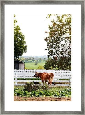 Little Jersey Cow Framed Print by Stephanie Frey