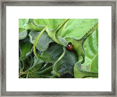 Little Lady Seeks Shelter Within A Green Sunflower Framed Print by Ronda Broatch