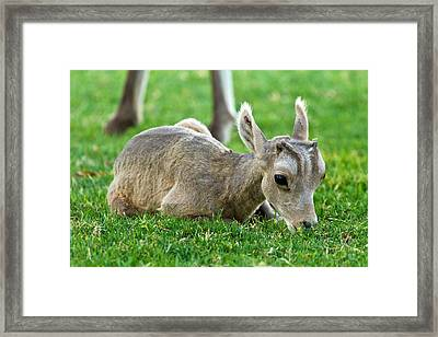 Little Lamb Framed Print by James Marvin Phelps