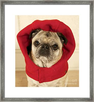 Little Red Riding Pug Framed Print by Cindy Lee Longhini