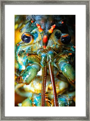 Live New England American Lobsters From Cape Cod Framed Print by Matt Suess