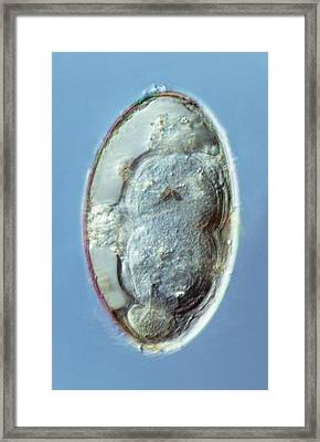 Liver Fluke Egg, Macro Photograph Framed Print by Sinclair Stammers