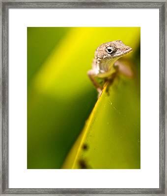 Lizard Framed Print by Jack Scicluna