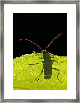 Locust Borer Framed Print by Mircea Costina Photography