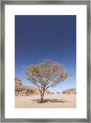 Lone Acacia Tree In The Sinai Desert Framed Print by Roberto Morgenthaler