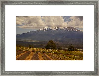 Lone Tree And Lavender Fields Framed Print by Mick Anderson