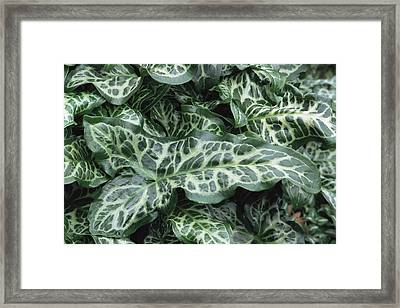 Lords And Ladies (arum Italicum 'pictum') Framed Print by Archie Young