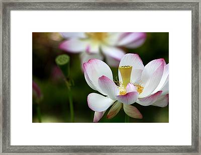 Lotus 2 Framed Print by Rima Geleziunas