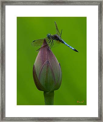 Lotus Bud And Blue Dasher Dragonfly Dl007 Framed Print by Gerry Gantt